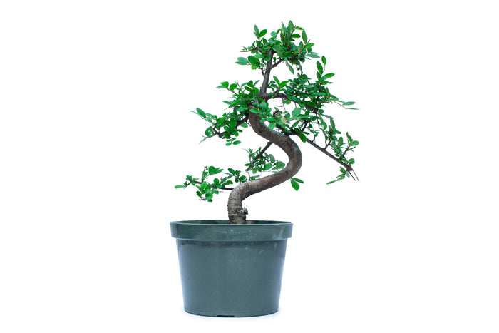 Twisted trunk Chinese Elm Pre Bonsai