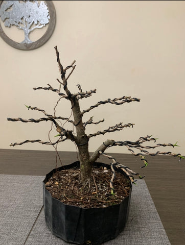 Ficus Twin Trunk (Auction 23)