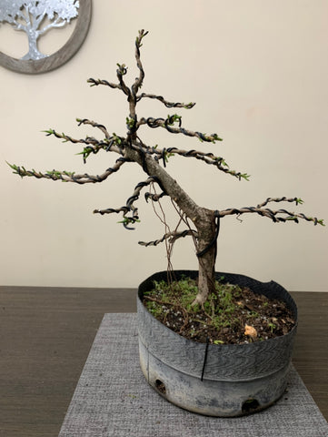 Ficus Slanting (Auction 24)