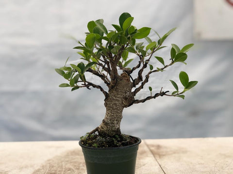 Tiger Bark Ficus - Shohin (Auction 2) CLOSED