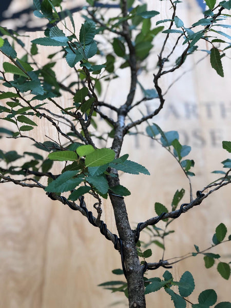American Elm (Auction 7) CLOSED