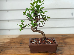 Golden Gate (Tiger Bark) Bonsai Tree
