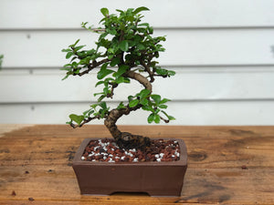 Fukien Tea Bonsai Tree/ Carmona