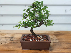 Twisted Trunk Chinese Elm Bonsai