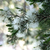 Australian Tea Tree (Melaleuca alternifolia)