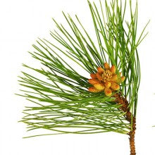Scots Pine essential oil