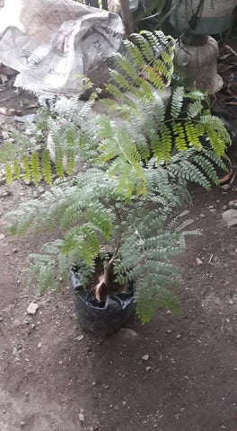 Jacaranda Tree 2ft seedling