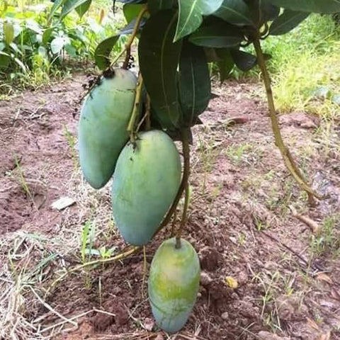 Sweet Superbig Catimon Mango Seedling (Multiple Rootstock)