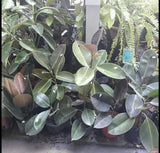 Rubber Trees (Indoor Plants)