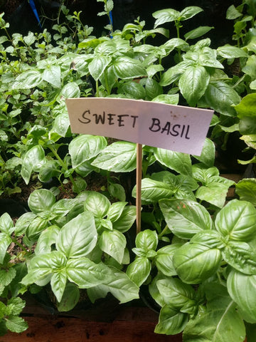 Sweet Basil Seedling