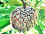 Seedless Atis