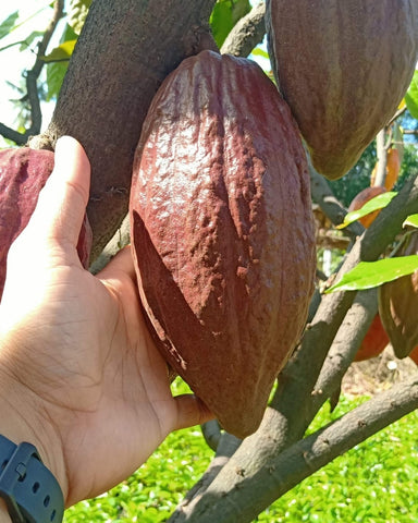 Cacao Grafted Seedling (UF-18 variety)