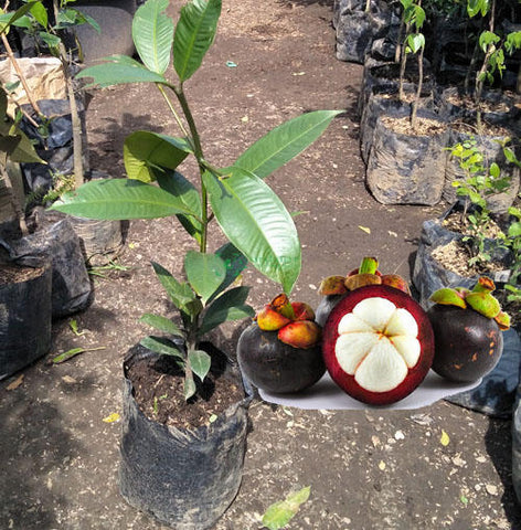 Mangosteen (grafted seedling)