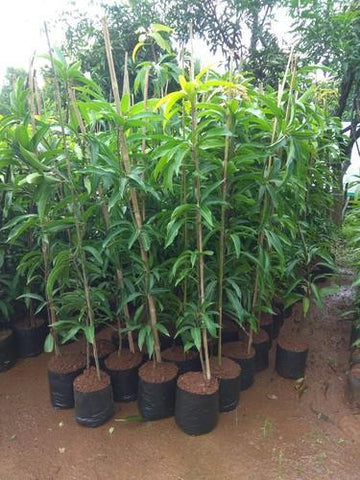 Indian Mango Grafted Seedling