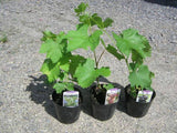 Grapes Seedlings (established from cuttings)