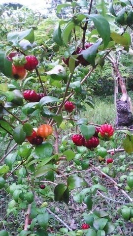 Black Surinam Cherry Seedlings (Pitanga)
