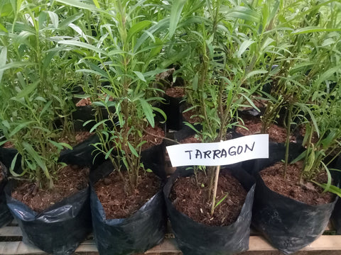 Taragon Seedling