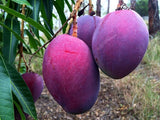 Sweet Purple Mango Seedling