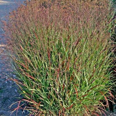 864 – Shenandoah Red Switch Grass