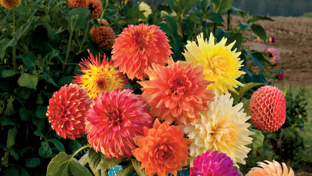 Rare Mix Dahlia Flower Seeds 50PCS / PACK