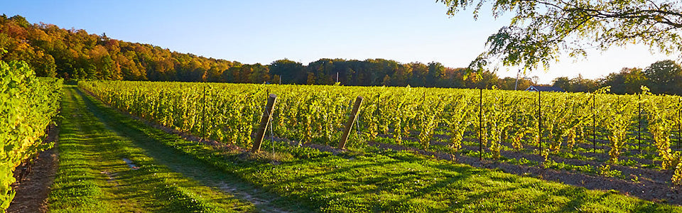 View of vineyards at Cave Spring