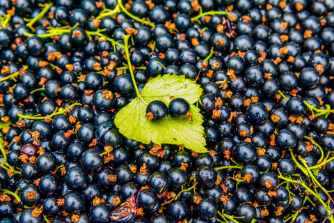 Study casts fascinating new light on blackcurrant's recovery actions