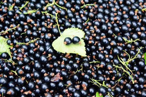 5 reasons why fitness lovers should be eating more blackcurrants - Evening Standard