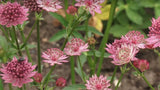 Astrantia major,  rozo-crvena, sjeme - AKCIJA!