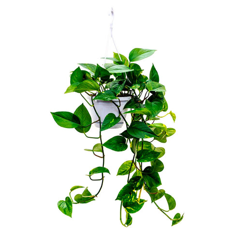 Golden Pothos Plant | scooms