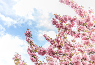 Spring Cherry Blossoms in Bloom for Health