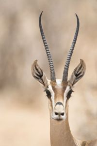 Gazelle Long Lashes