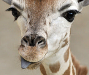 Giraffe Long Lashes