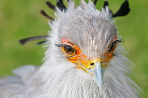 Secretary Bird Long Lashes