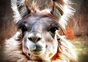 Alpaca Long Lashes