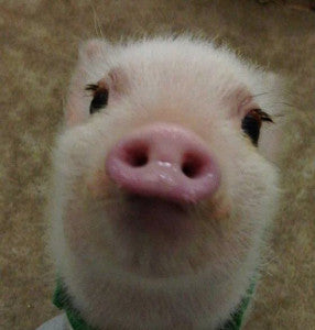 Piglets Long Lashes