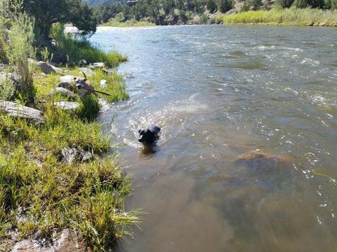 Our dogs cooling off in the Arkansas River at Texas Creek