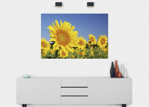 Sunflowers Wall Mural - Blue Lake Decor