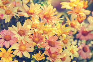 Pink & Yellow Daisies Wall Mural - Blue Lake Decor