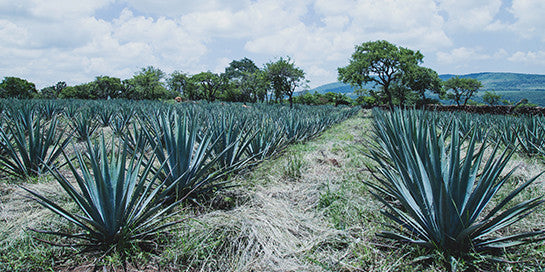 Cuidamos el agave y su campo, orgánicamente|We care for our fields and agave organically.