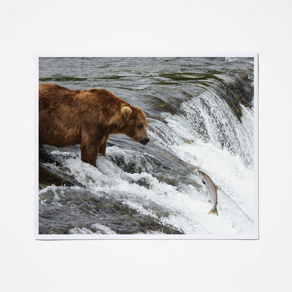 Bear Waiting for Salmon