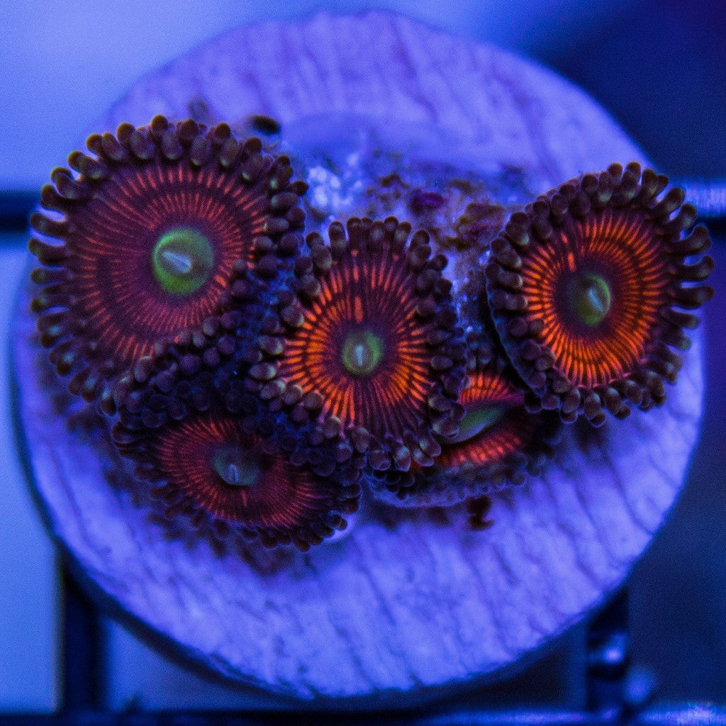 High Tide Aquatics Red Gobstopper zoas