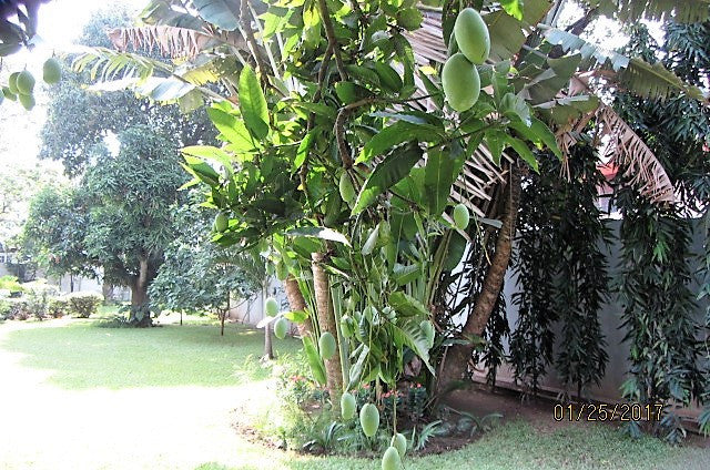 Mangos growing in Philippe's garden
