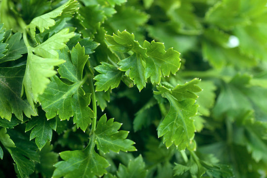 Parsley Seedlings (Italian Dark Green)