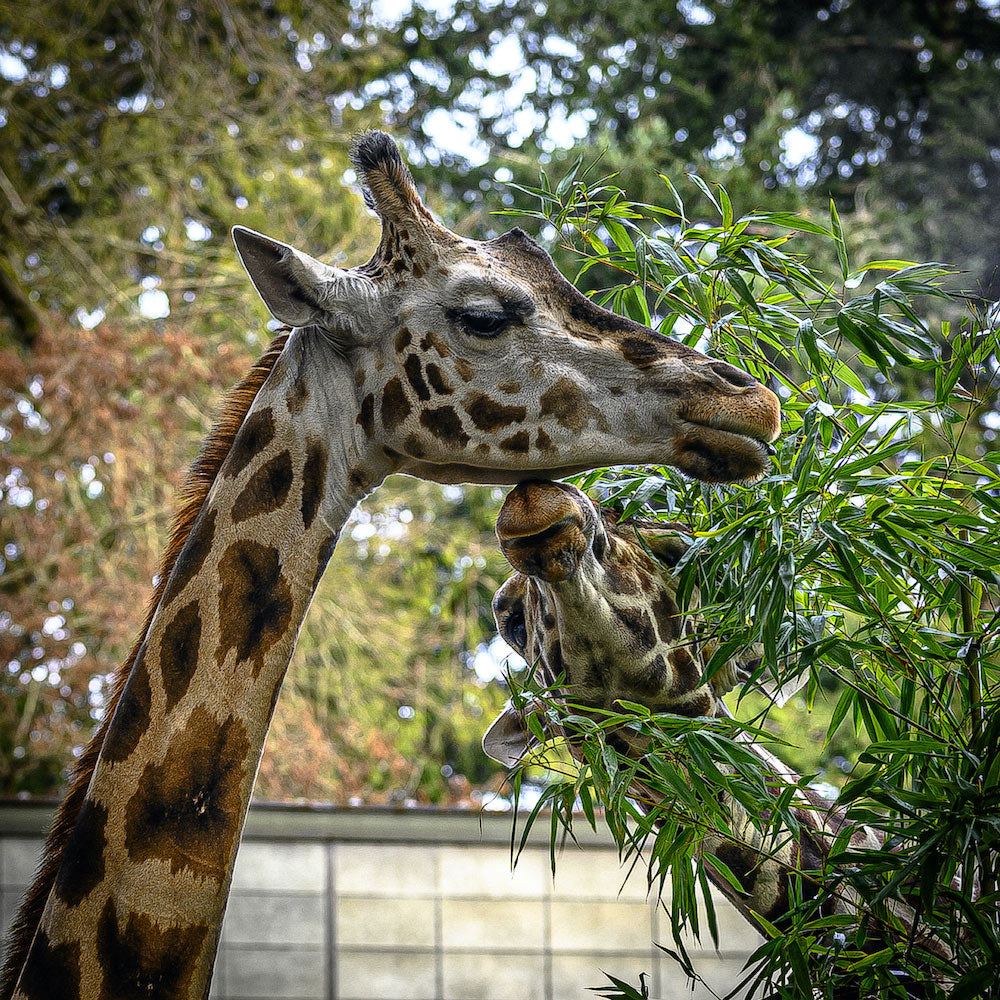 Giraffe's kissing at Woodland Park Zoo, by Gibran Hamdan Seattle photographer