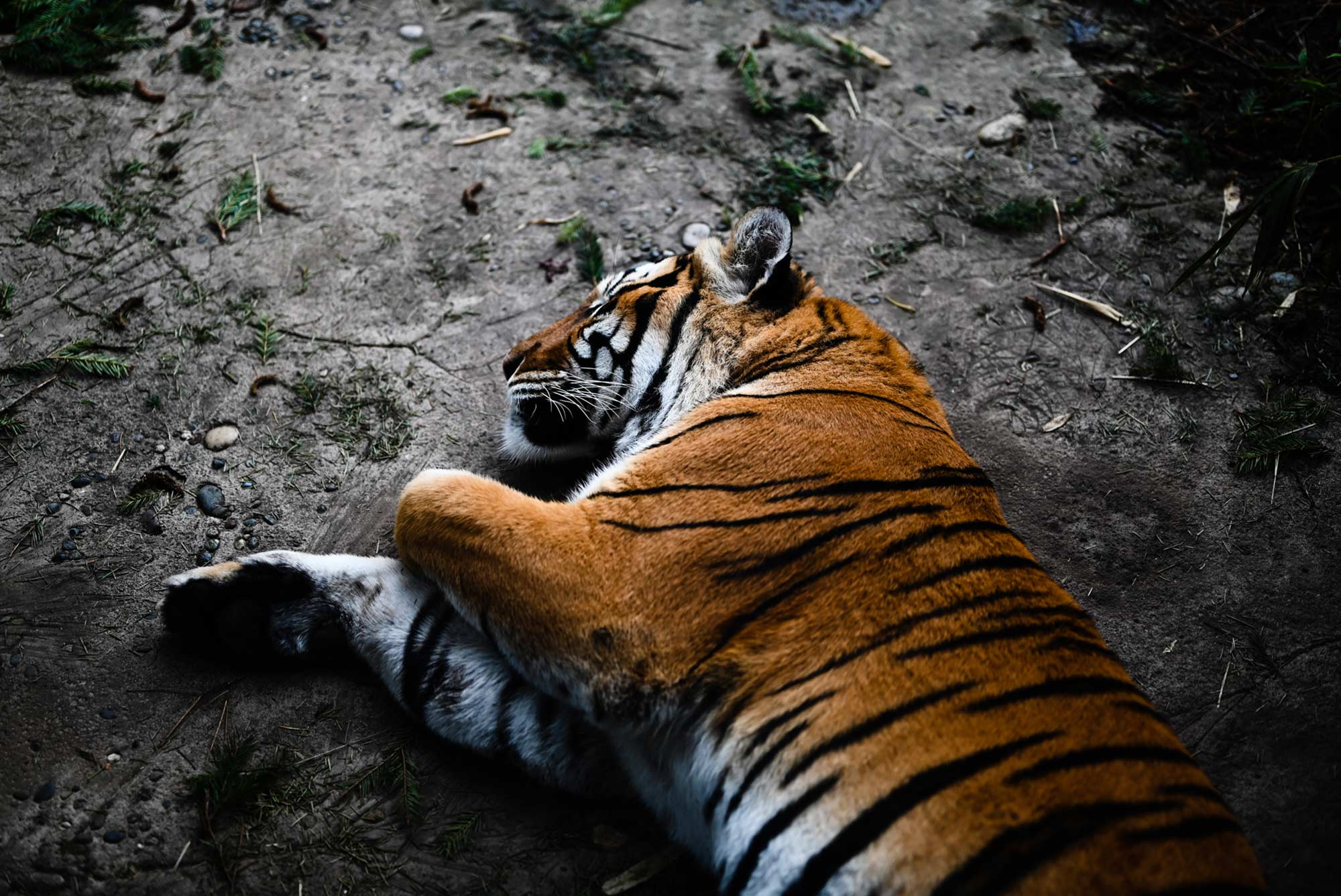 Tiger Sleeping, by Gibran Hamdan Seattle photographer