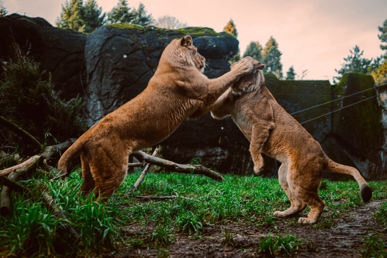 Lions playing together, by Gibran Hamdan Seattle photographer