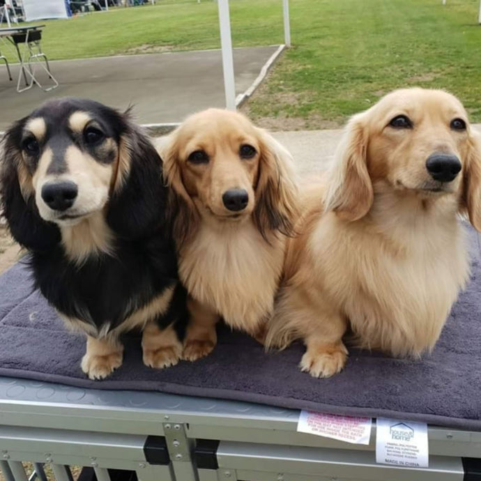 What colours can Dachshunds be?