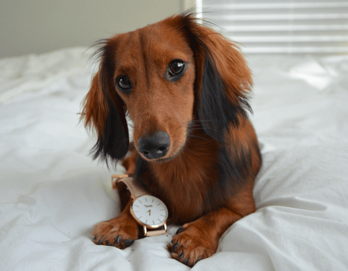 Doxie Watches