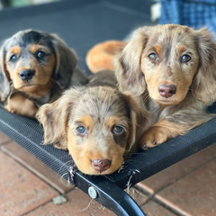 House of Weenies Dapple Puppies
