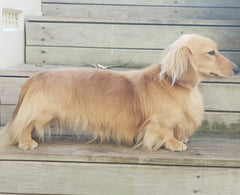 Major Long Haired Dachshund